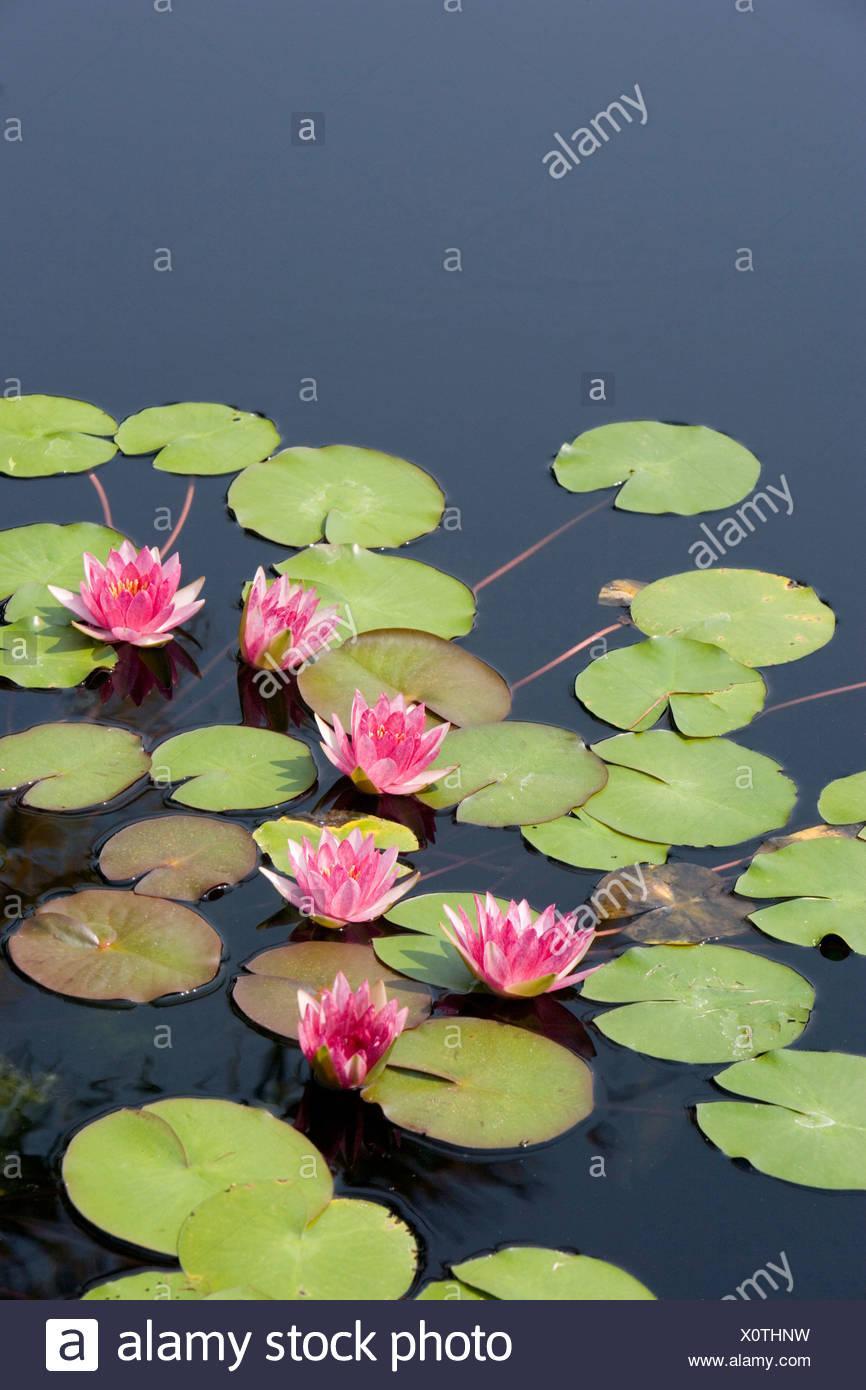 Lotus Flowers In Pond Stock Photo 275906677 Alamy