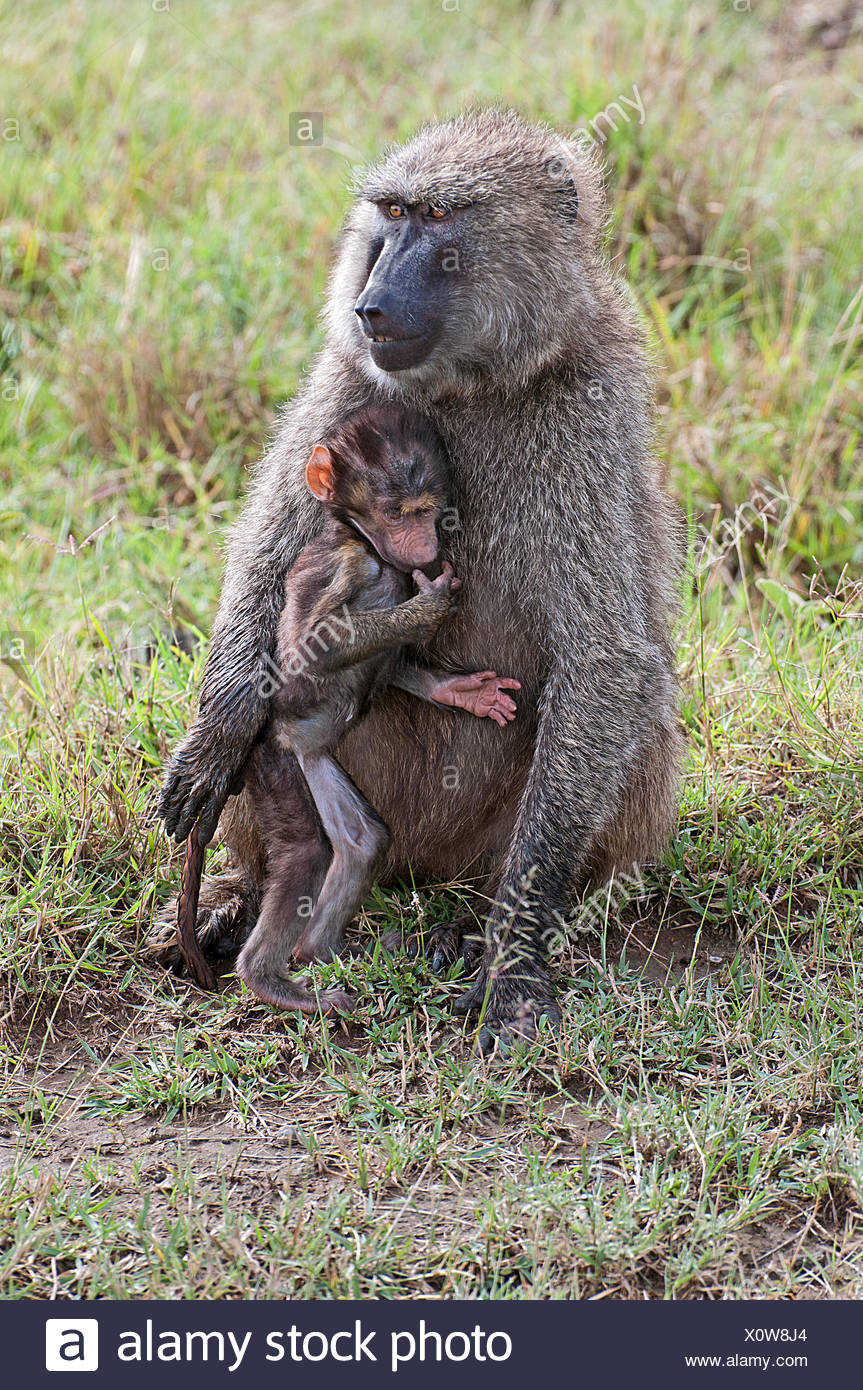 Female Olive Baboon cuddling her baby whilst sitting in grassland in Lake Nakuru National Park Kenya East Africa  OLIVE BABOON B - Stock Image