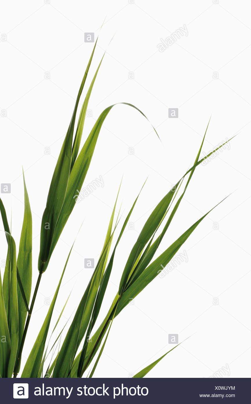 Reeds against white background - Stock Image