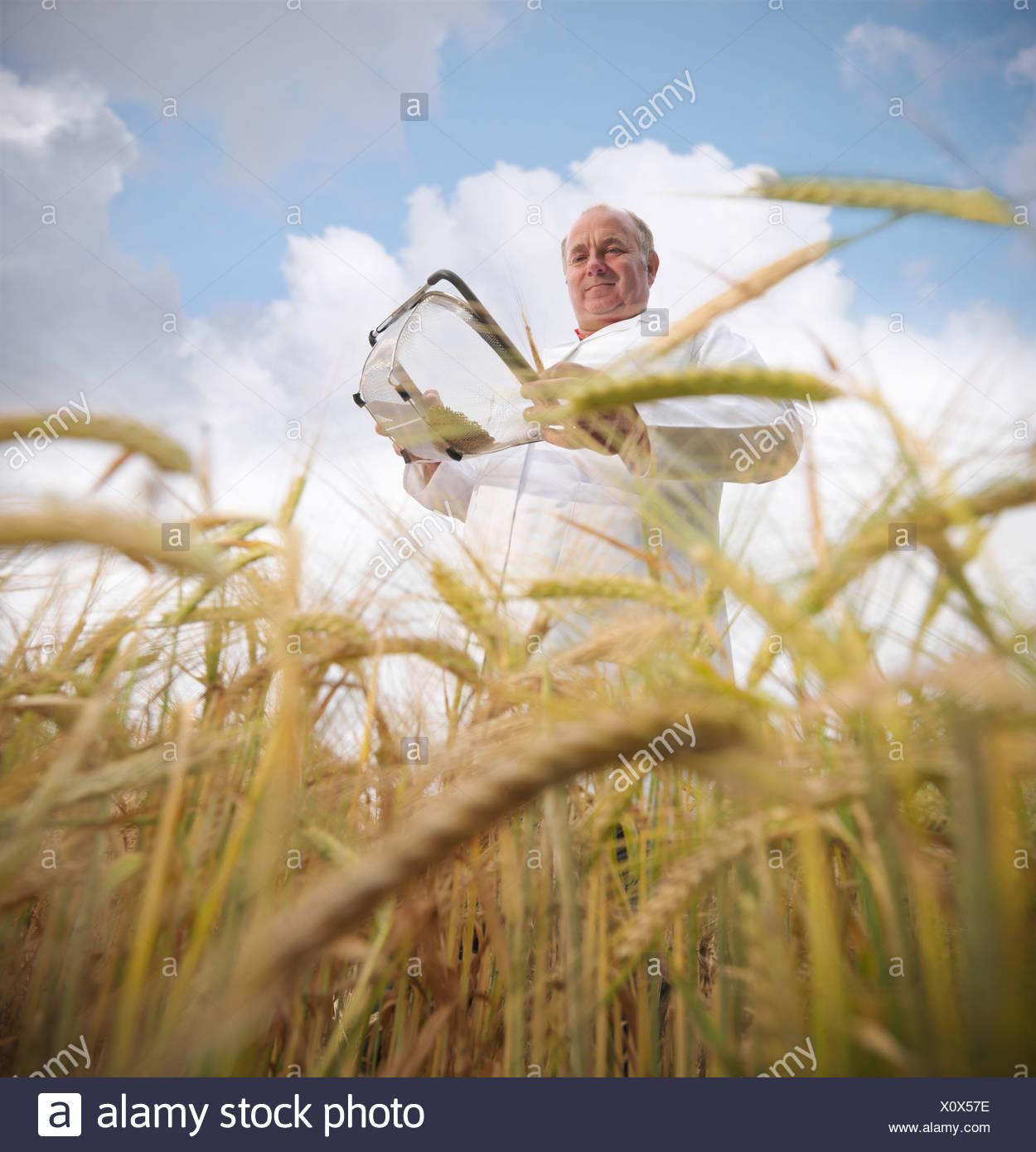 Scientist examining barley in field - Stock Image
