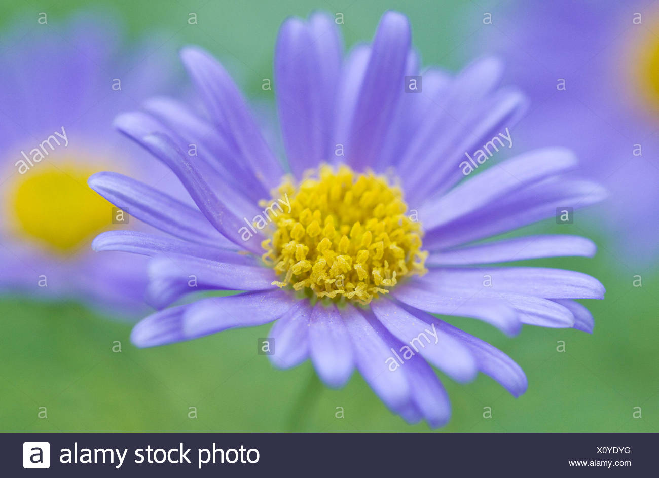 Portrait close up study of single flower detail of small bright blue portrait close up study of single flower detail of small bright blue daisy like flowers annual brachycome blue starswan river daisy izmirmasajfo