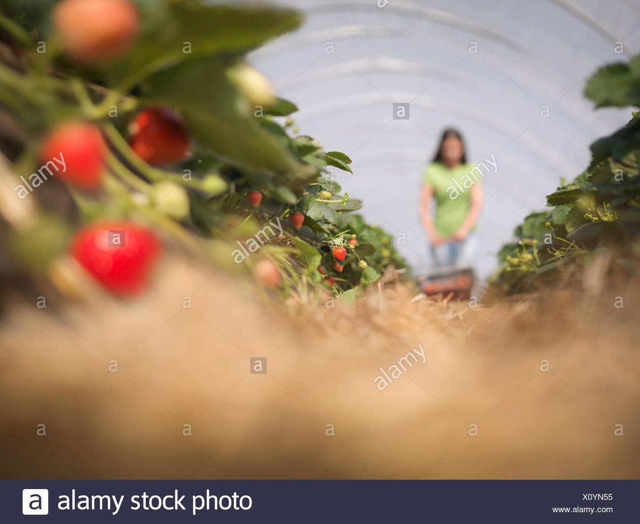 Worker picking strawberries on fruit farm - Stock Image