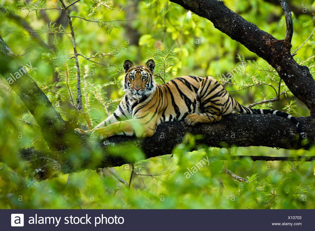 Adolescent male Bengal Tiger (around 15 months) resting up a tree. Bandhavgarh NP, Madhya Pradesh, India. - Stock Image