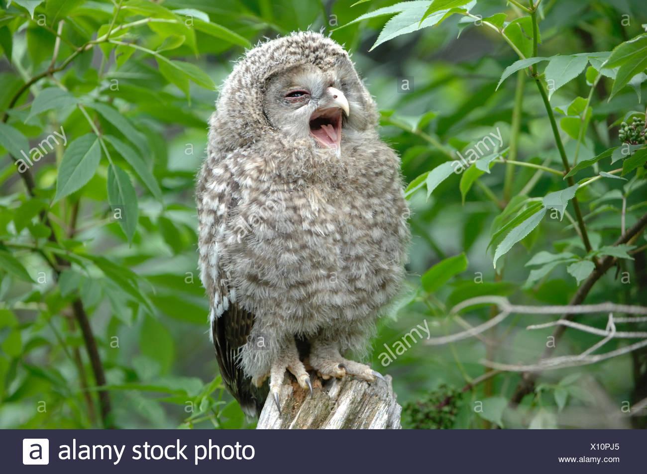 Owls, owl, Ural owl, night hunters, animal, animals, Germany, Europe, - Stock Image