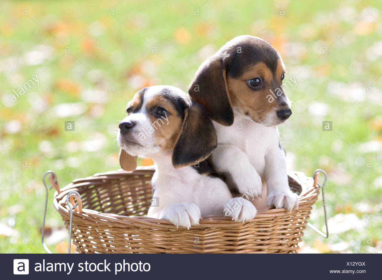 Good Two Beagle Adorable Dog - two-beagle-puppies-in-a-wicker-basket-X12YGX  HD_197410  .jpg