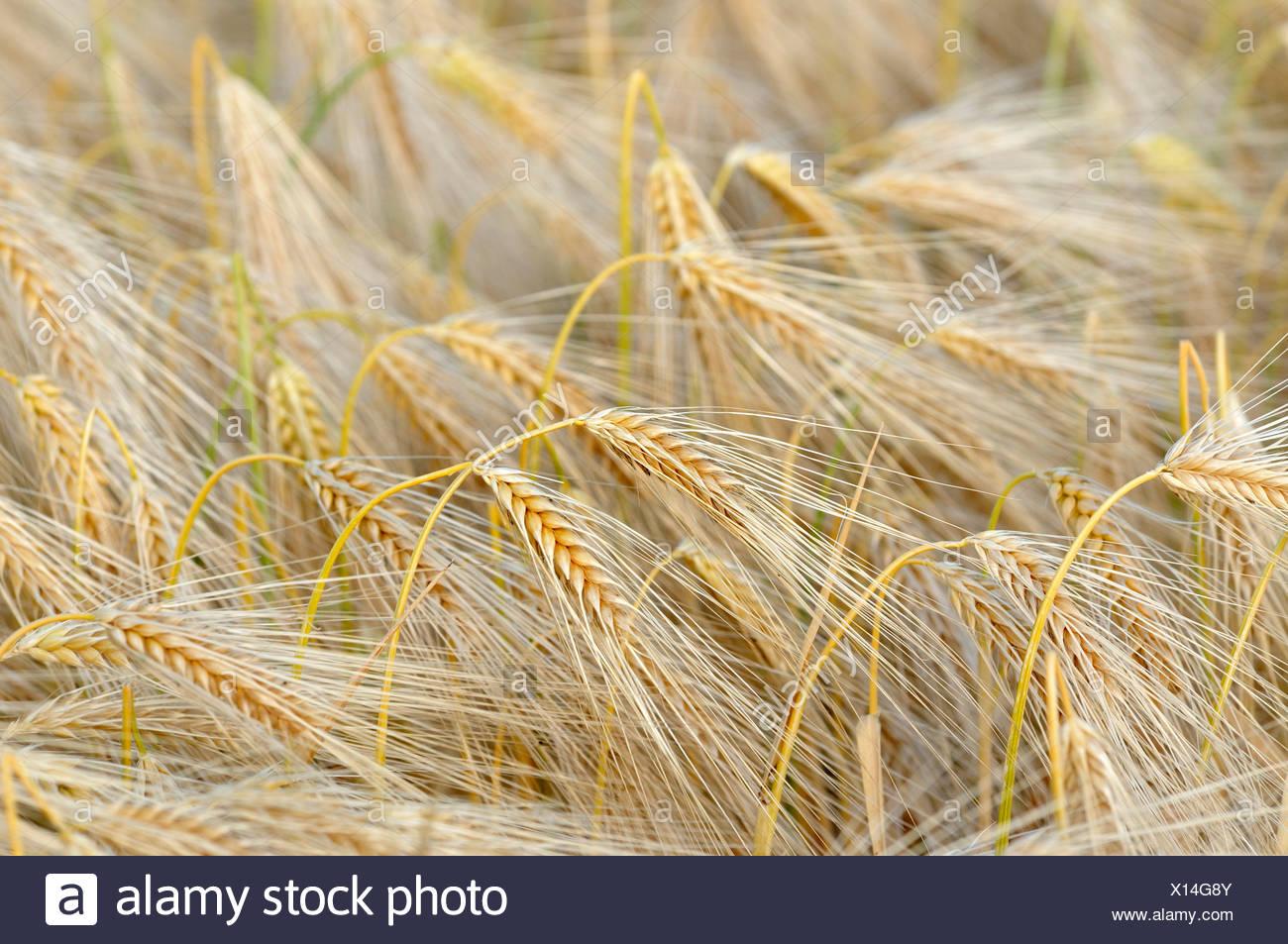 barley (Hordeum vulgare), barley field, Germany - Stock Image