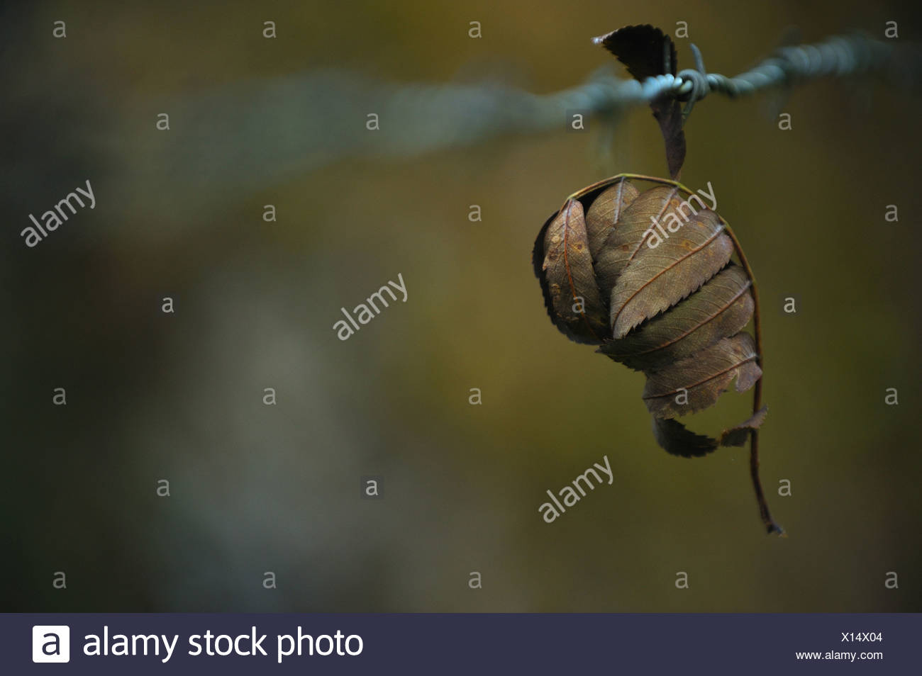Closeup on leaf stuck on barbed wire - Stock Image
