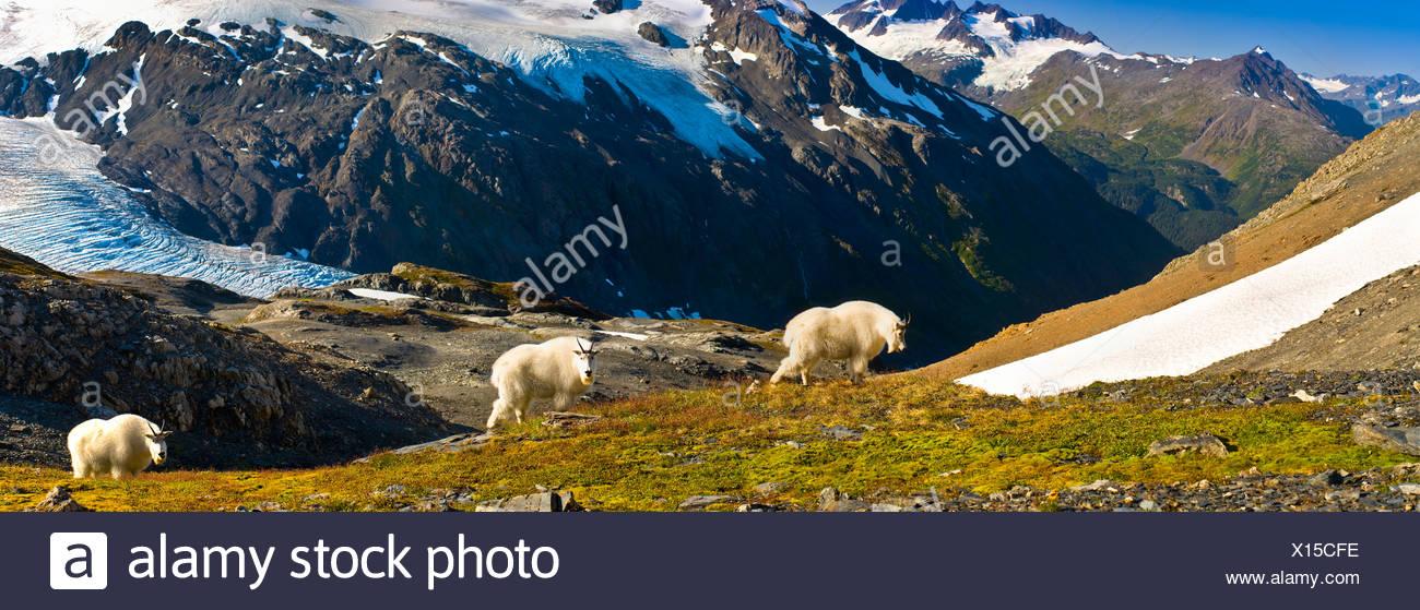 Three mountain goats foraging near Exit Glacier's Harding Icefield Trail, Kenai Fjords National Park, Alaska. Composite - Stock Image