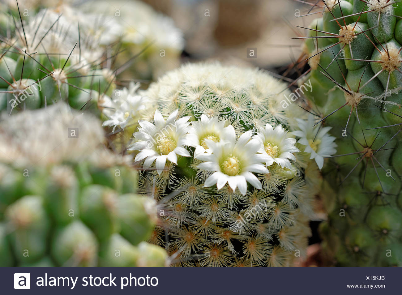 Cactus Mammilaria Spec With White Flowers Stock Photo 276105715