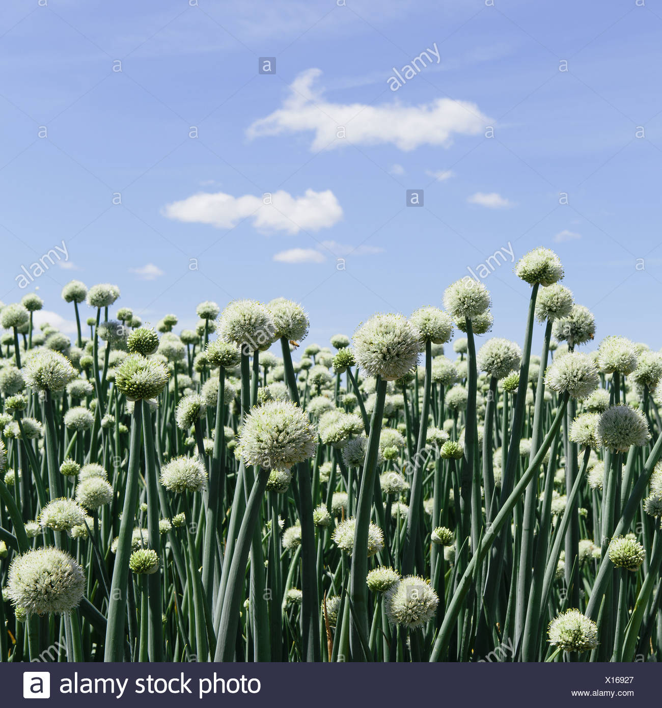 Large crop of blooming Walla Walla Sweet Onions, near Quincy - Stock Image