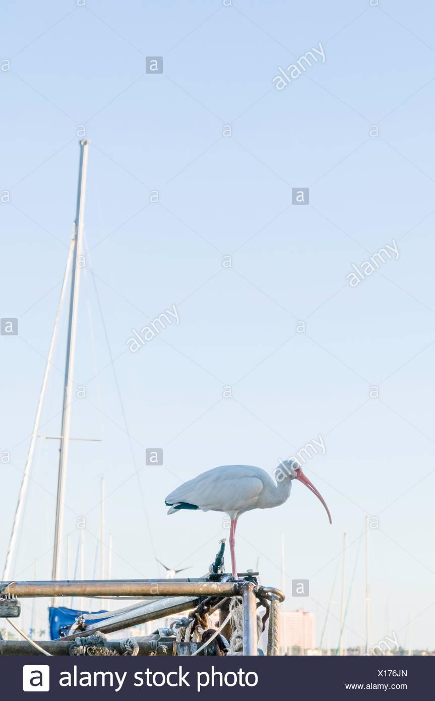 USA, Florida, Miami, View of American white ibis (Eudocimus albus) - Stock Image