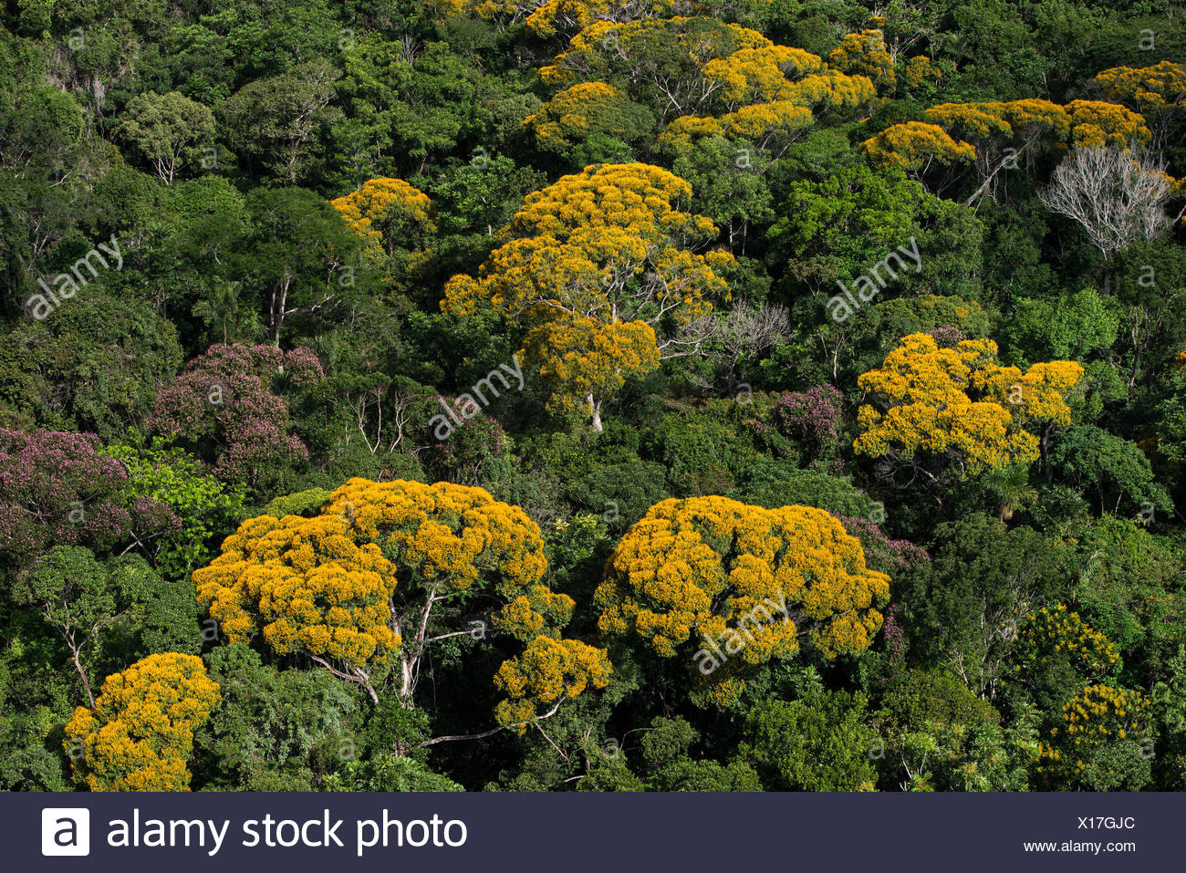 Tropical Rainforest Canopy With Yellow Flowering Trees Kupinang