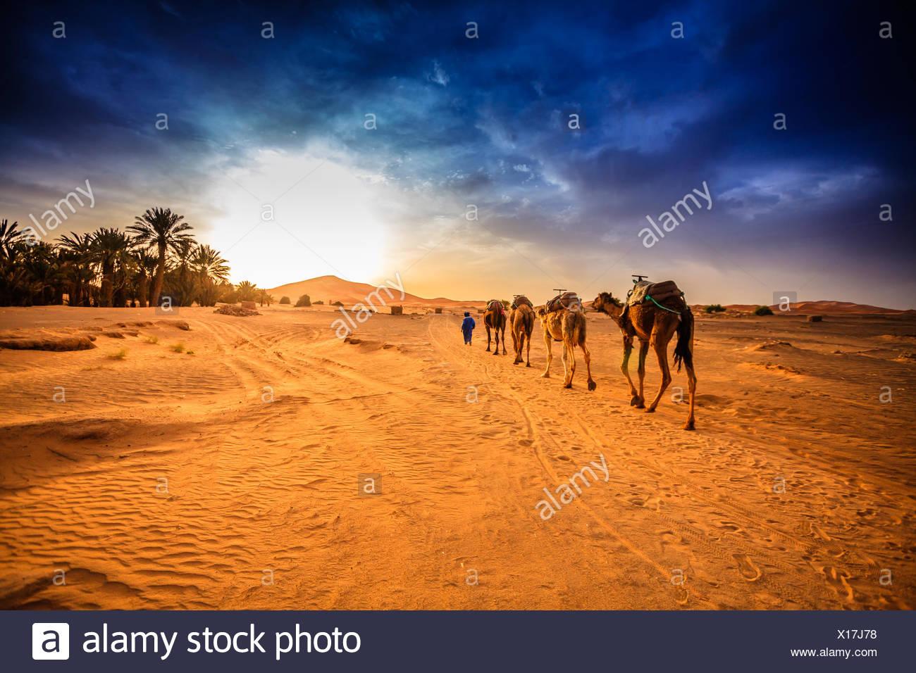 Camel caravan in Sahara desert, Morocco - Stock Image