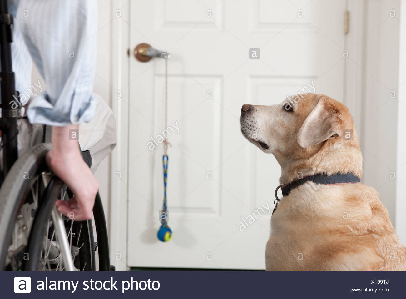 Service dog with a man in a wheelchair - Stock Image