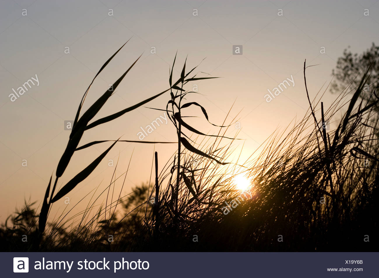 Reeds in the evening sun - Stock Image