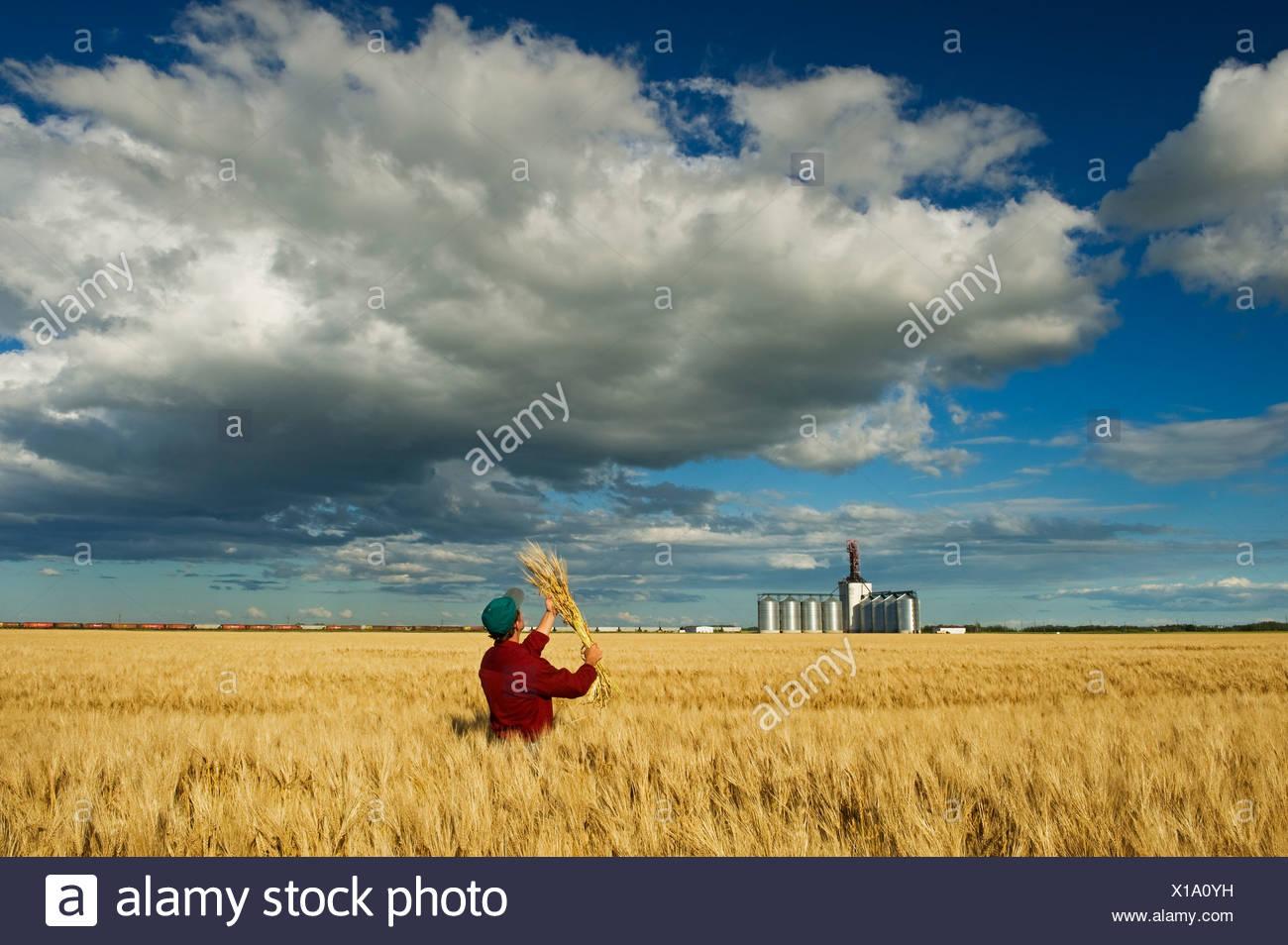 Man looks mature barley with an inland grain terminal and developing cumulonimbus clouds in background near Winnipeg Manitoba Ca - Stock Image