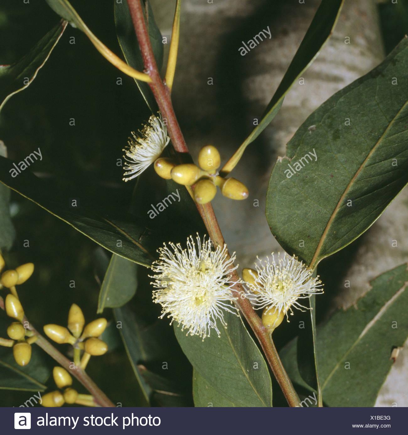 Eucalyptus eucalyptus globulus labill leaves buds blossoms close nature botany flora fever gum tree eucalyptus globulus plant blossom leaves fig kind shrub blossom white blossoming flower flowers leaves mightylinksfo