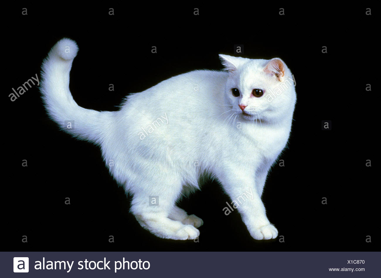 White British Shorthair Domestic Cat Adult Against Back Background