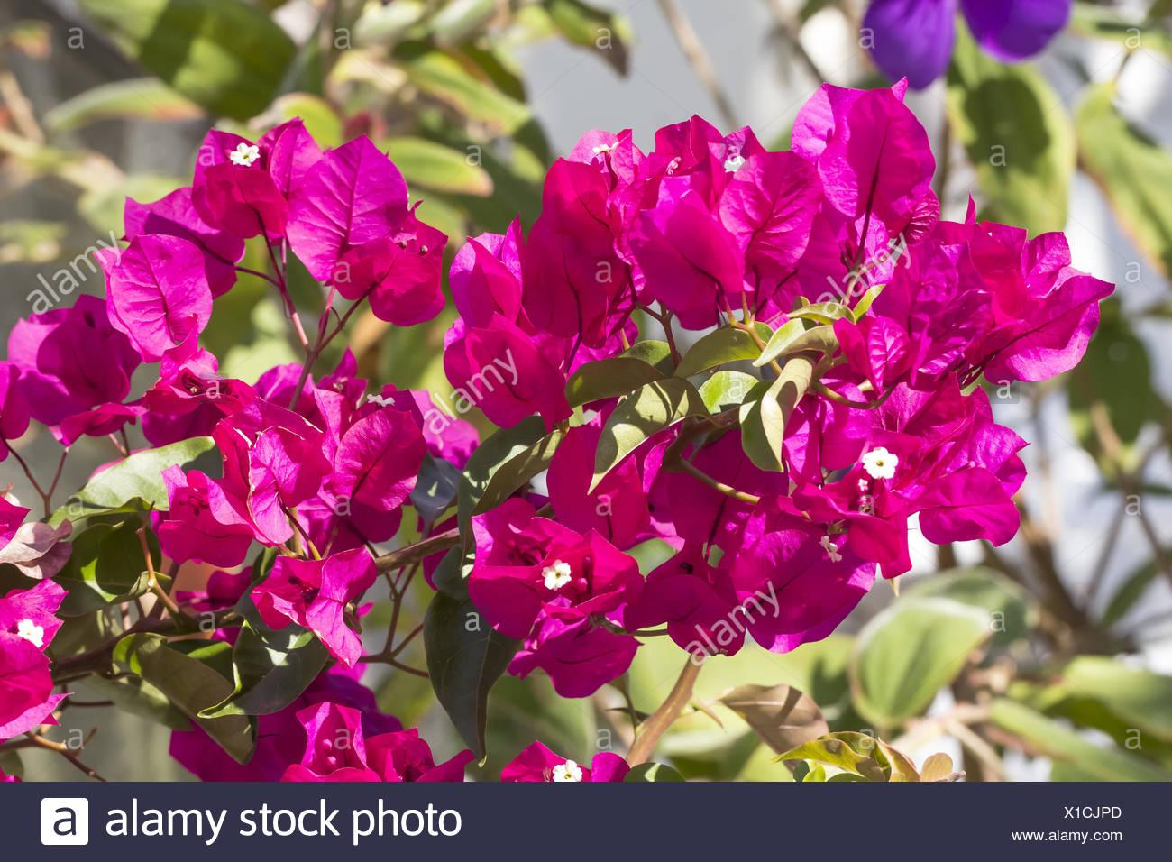 Bougainvillea Glabra Paper Flower Stock Photo 276258709 Alamy