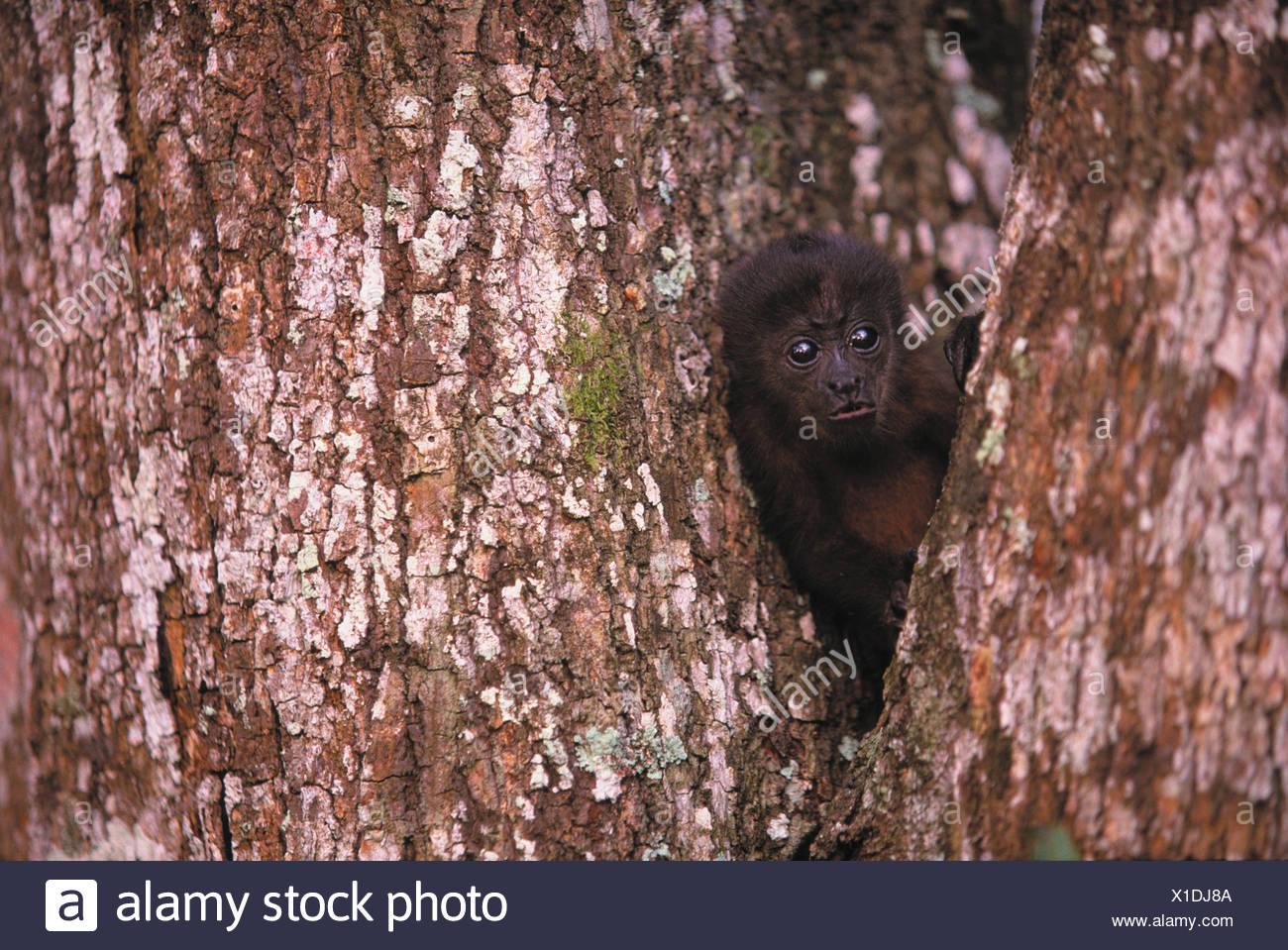 Black Howler Monkey, Islas Bocas del Toro, Panama - Stock Image