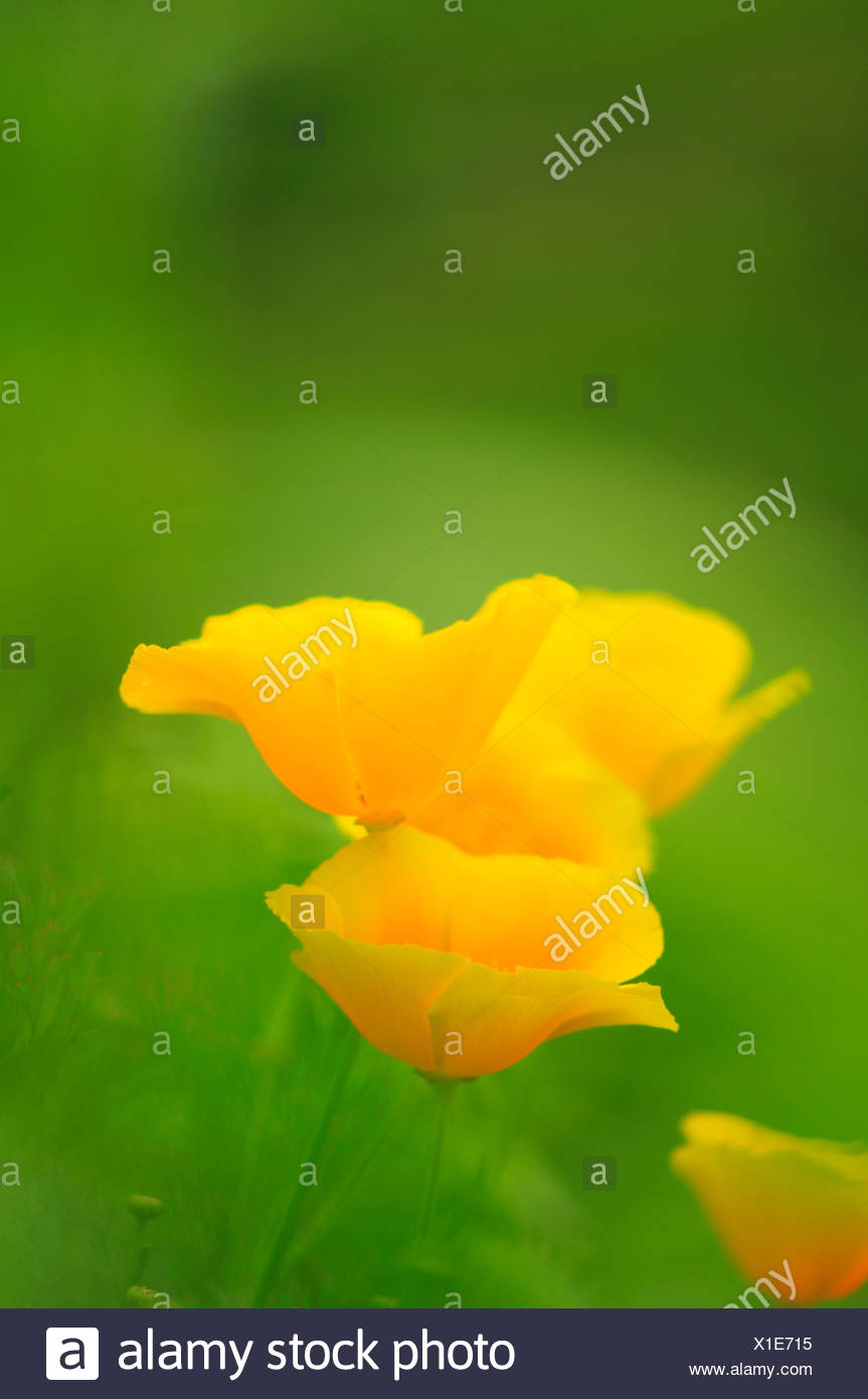 Californian Poppy (Eschscholzia california) - Stock Image