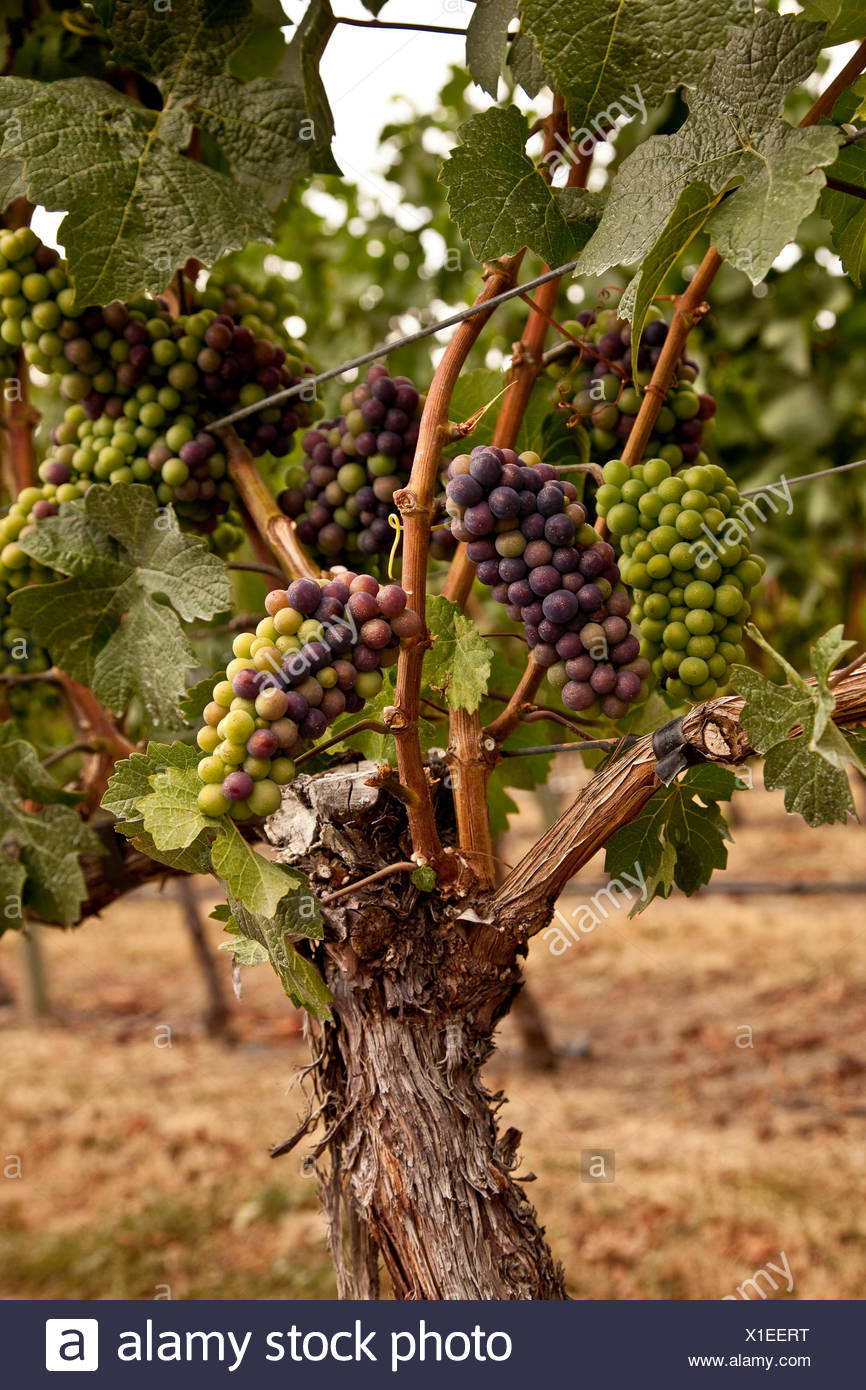 Merlot grapes in the process veraison during which grapes begin to ripen growing in size weight sugar content Okanagan Valley - Stock Image