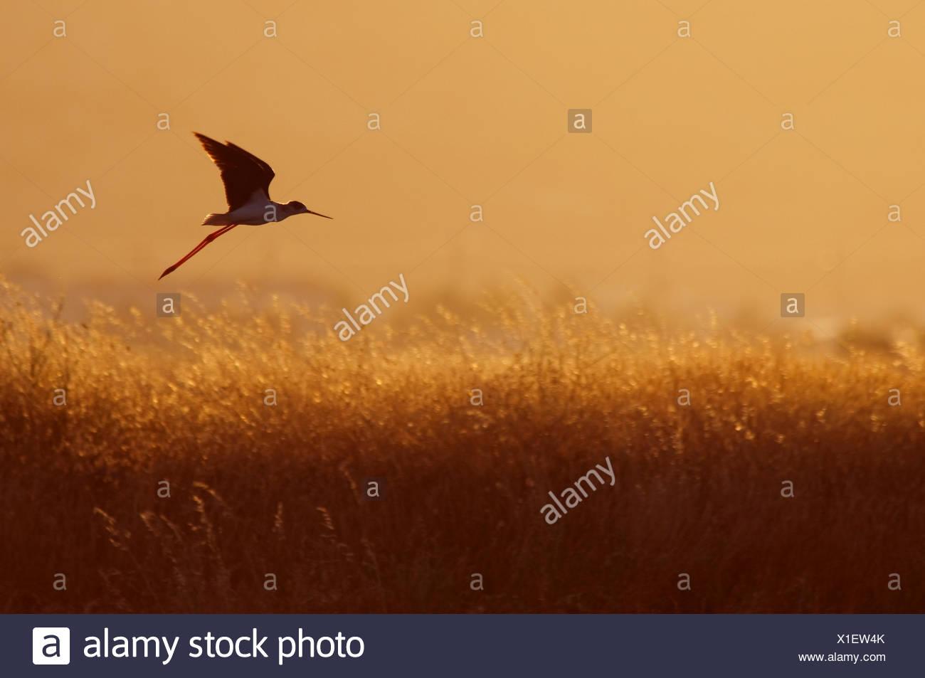 Black-winged stilt (Himantopus himantopus) in flight over long grasses at dusk, Lesbos, Greece - Stock Image