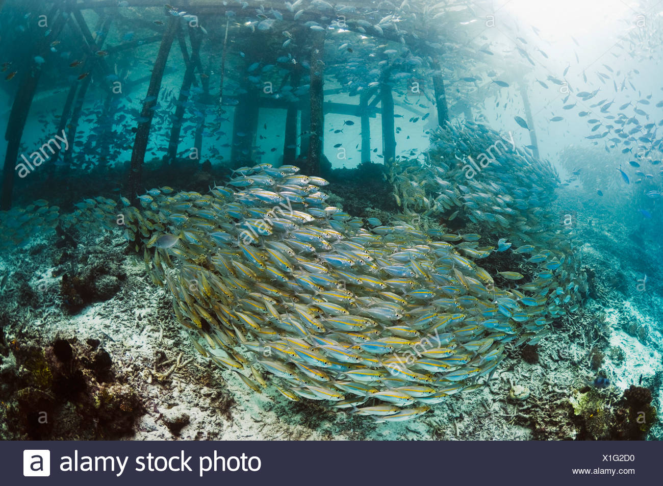 Bigeye scad school with jetty on coral reef.  Misool, Raja Empat, West Papua, Indonesia. - Stock Image
