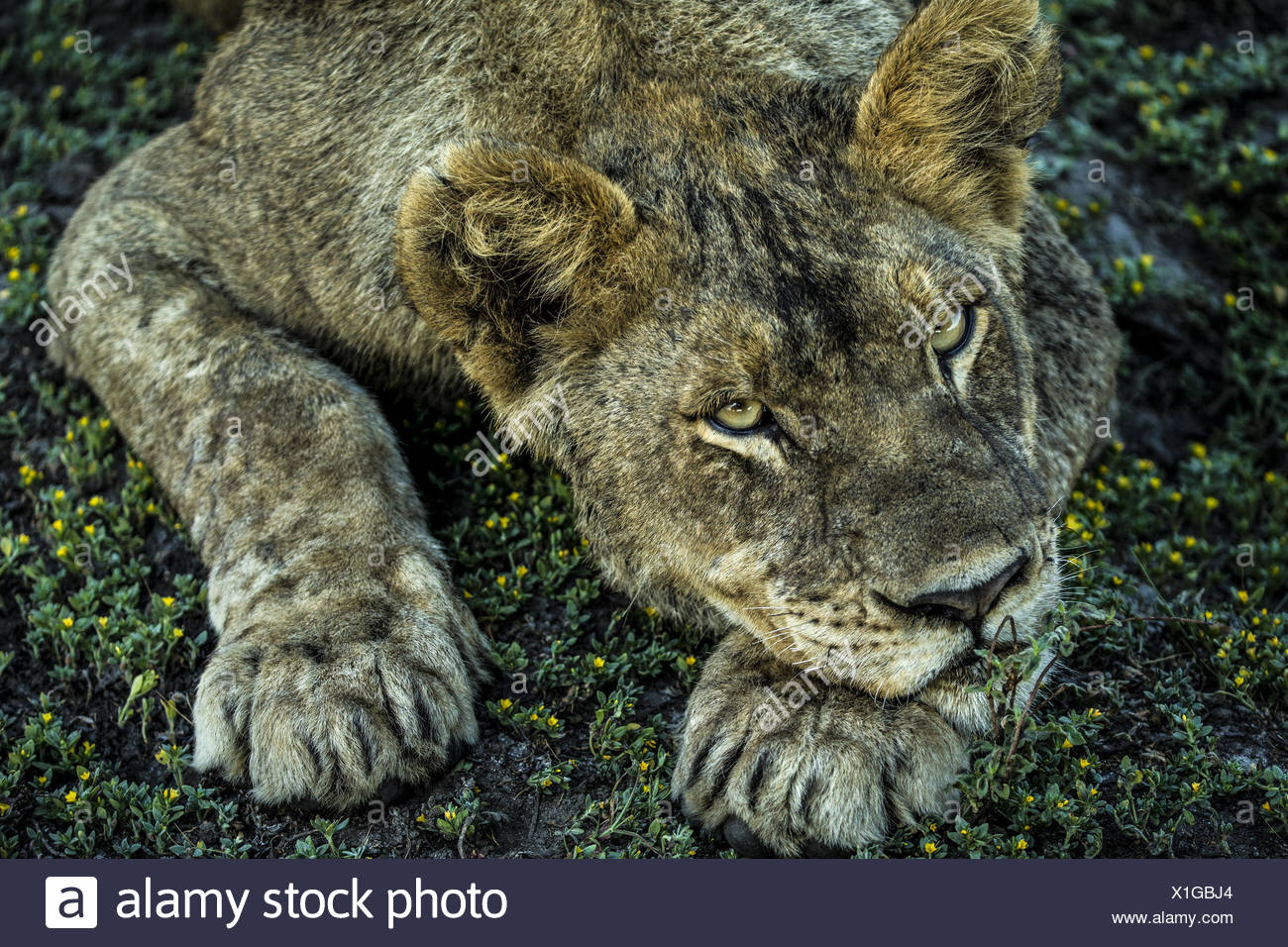 A young lion, Panthera leo, rests on flowering shrubs. - Stock Image