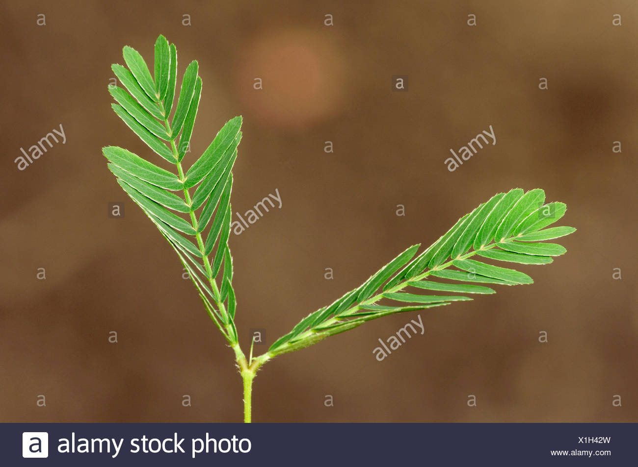 Sensitive Plant, Humble Plant or Touch-Me-Not (Mimosa pudica), leaves - Stock Image
