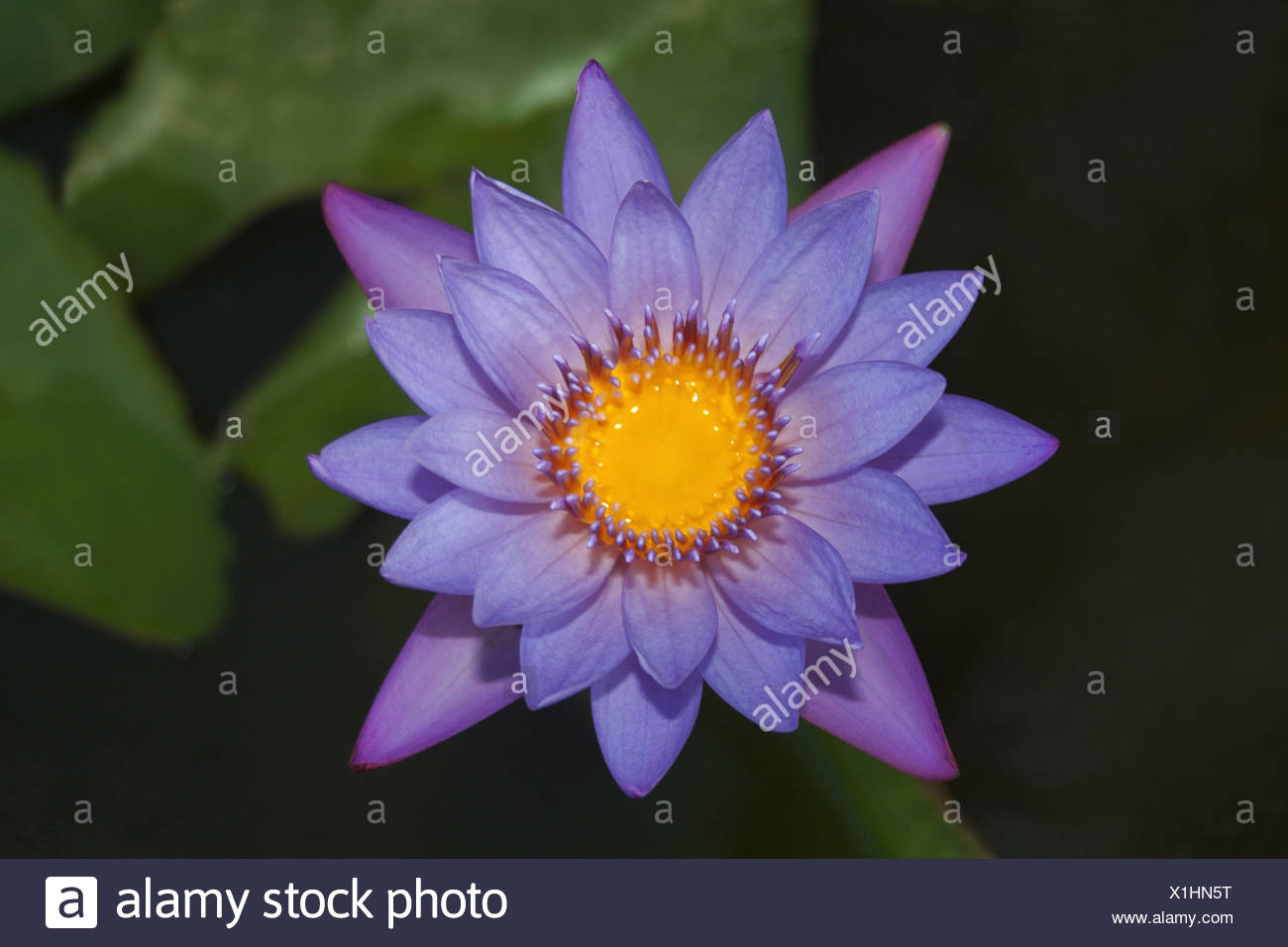 The blue water lily nymphaea caerulea indian blue lotus is a water the blue water lily nymphaea caerulea indian blue lotus is a water lily that is found in india pune izmirmasajfo