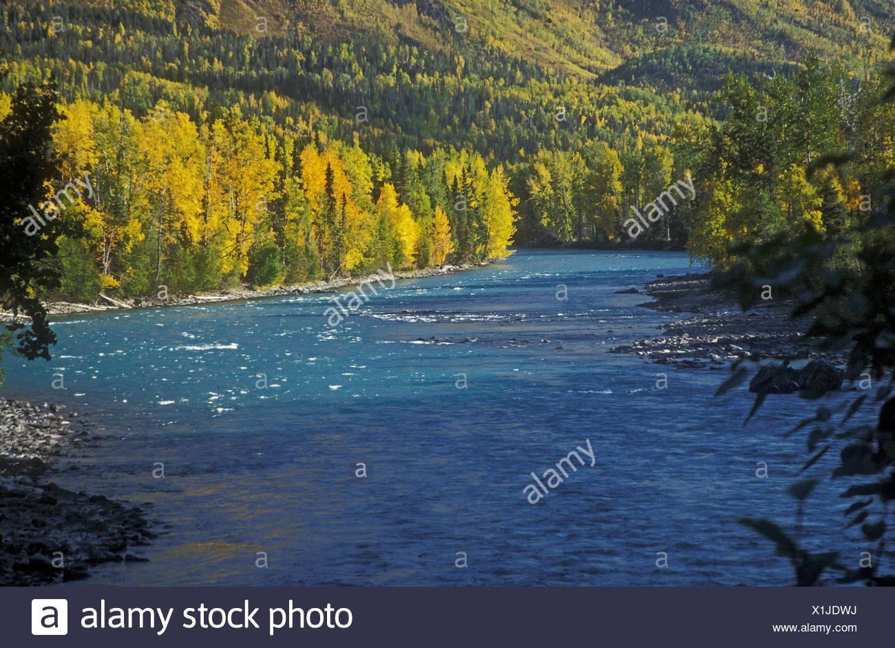 birch and cottonwood in fall color along upper kenai river alaska
