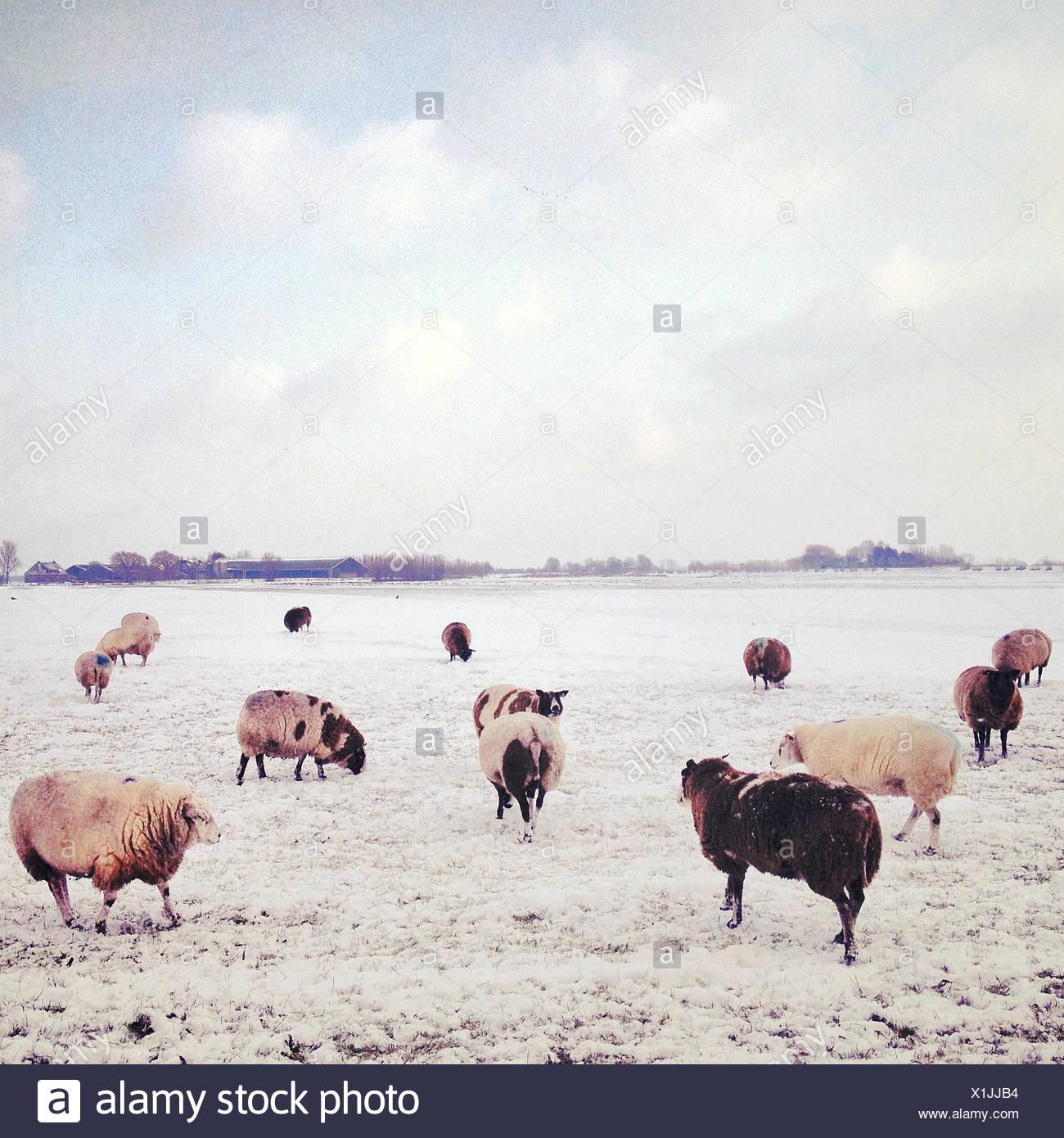 Flock of sheep at pasture at winter - Stock Image
