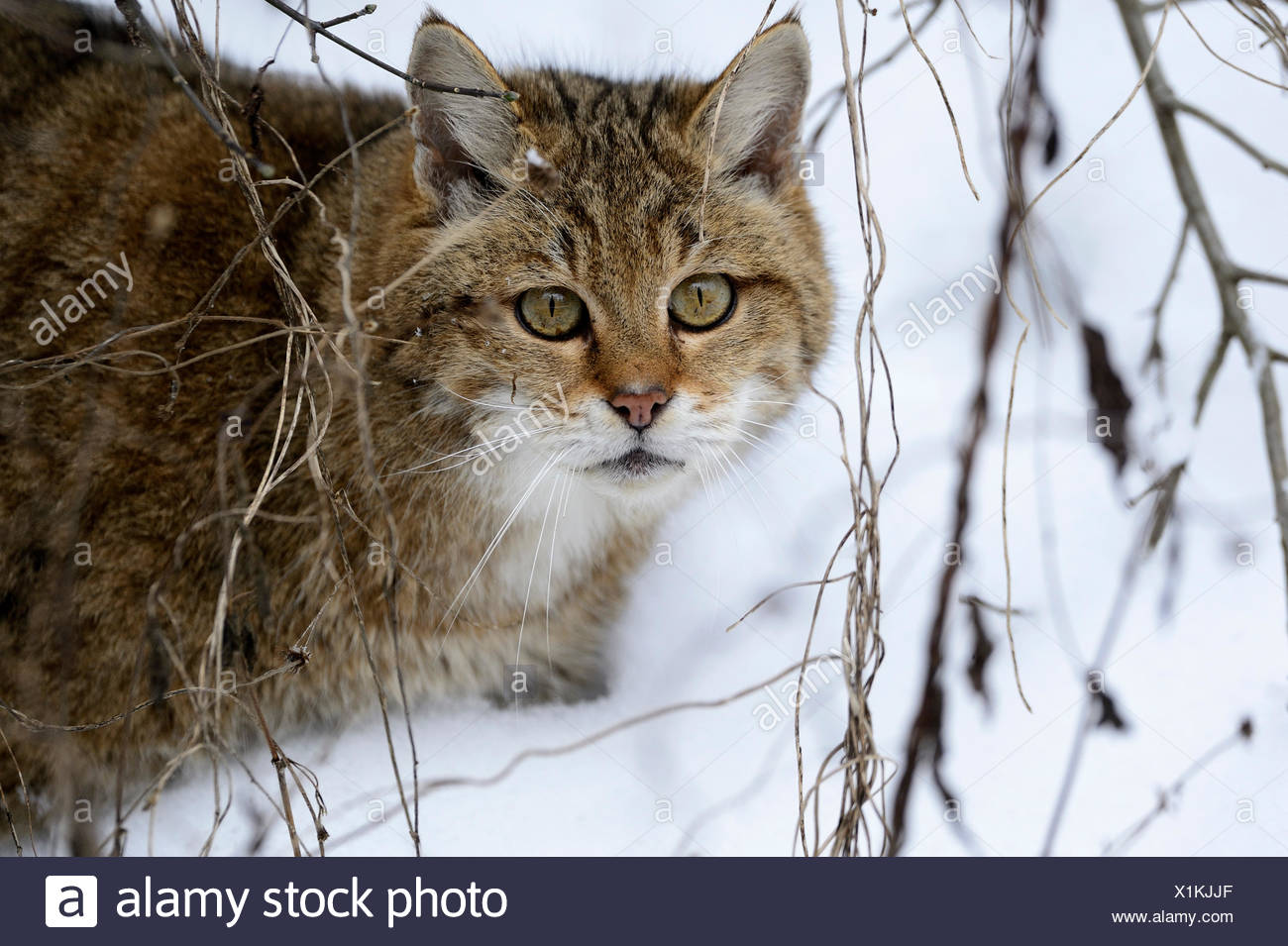Wildcat predator game predator predators small cats cats cat wild cats Felis silvestris wildcats snow winter animal animals, - Stock Image