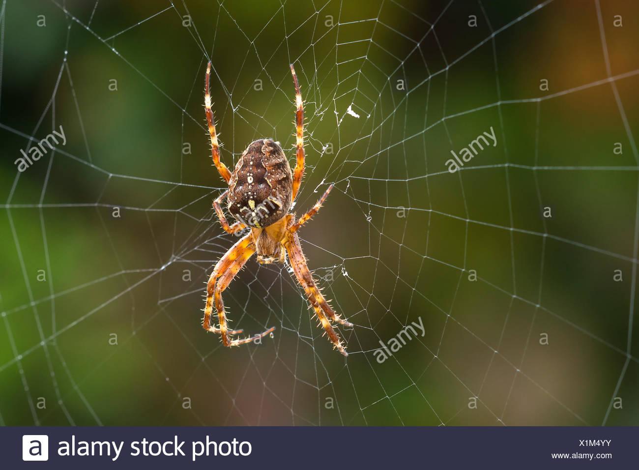 European garden spider (Araneus diadematus) lurks in the spider\'s ...
