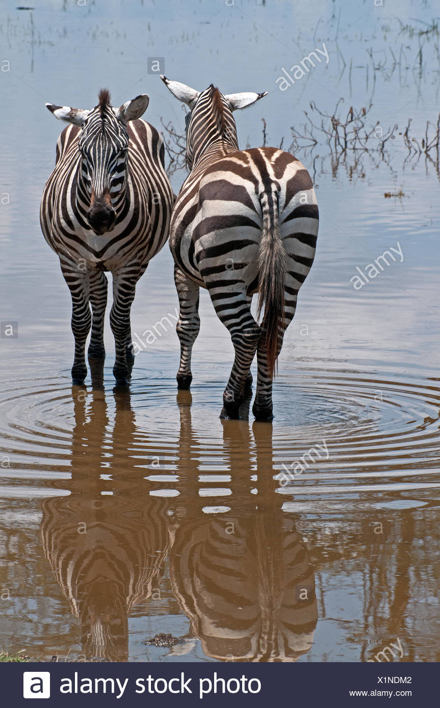 Two Common Zebra stand side by side in shallow flood water at lake edge in Lake Nakuru National Park Kenya East Africa COMMON ZE - Stock Image