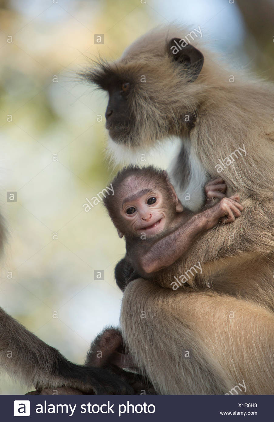 Hulman, Hanuman, Indian, monkey, Asia, animals, animal, female, young, - Stock Image