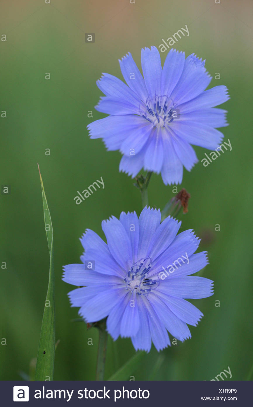 Common chicory cichorium intybus is a bushy perennial herbaceous common chicory cichorium intybus is a bushy perennial herbaceous plant with blue lavender or occasionally white flowers mightylinksfo