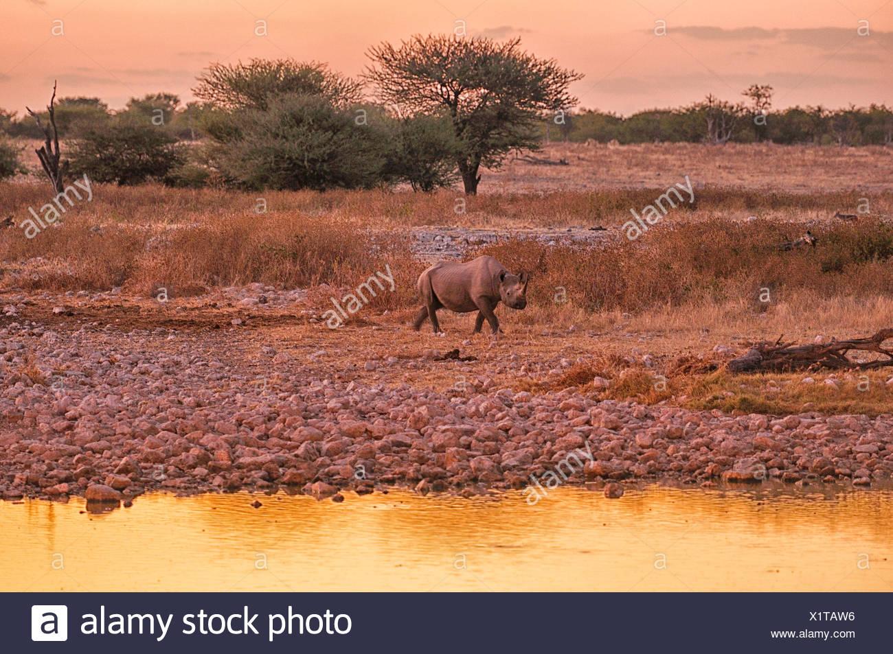 Africa, Etosha, National Park, Namibia, Warm, dusk, horizontal, rhino, animal, sundown, sunset, walking, watching, water, wateri - Stock Image