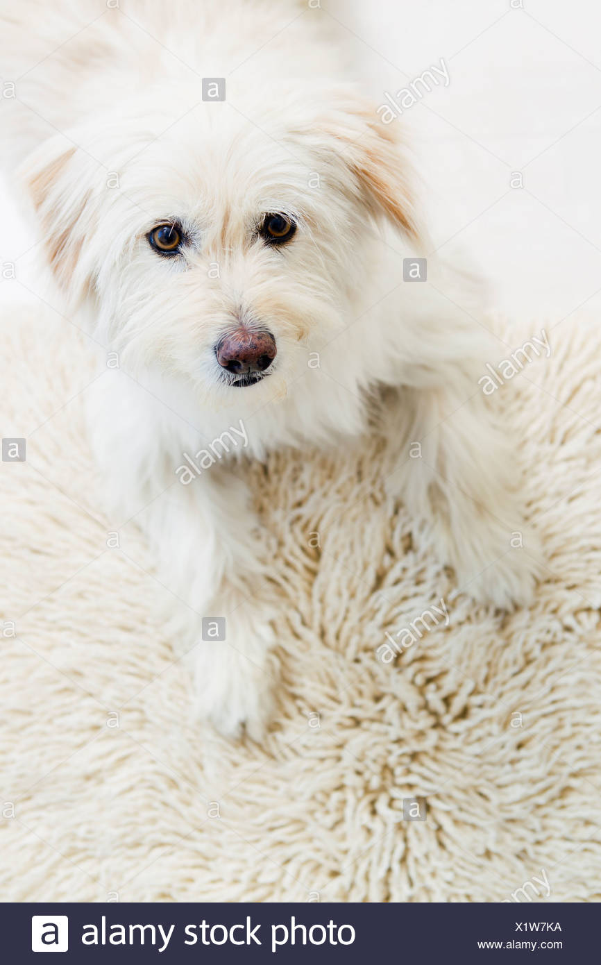 Dog relaxing on rug - Stock Image