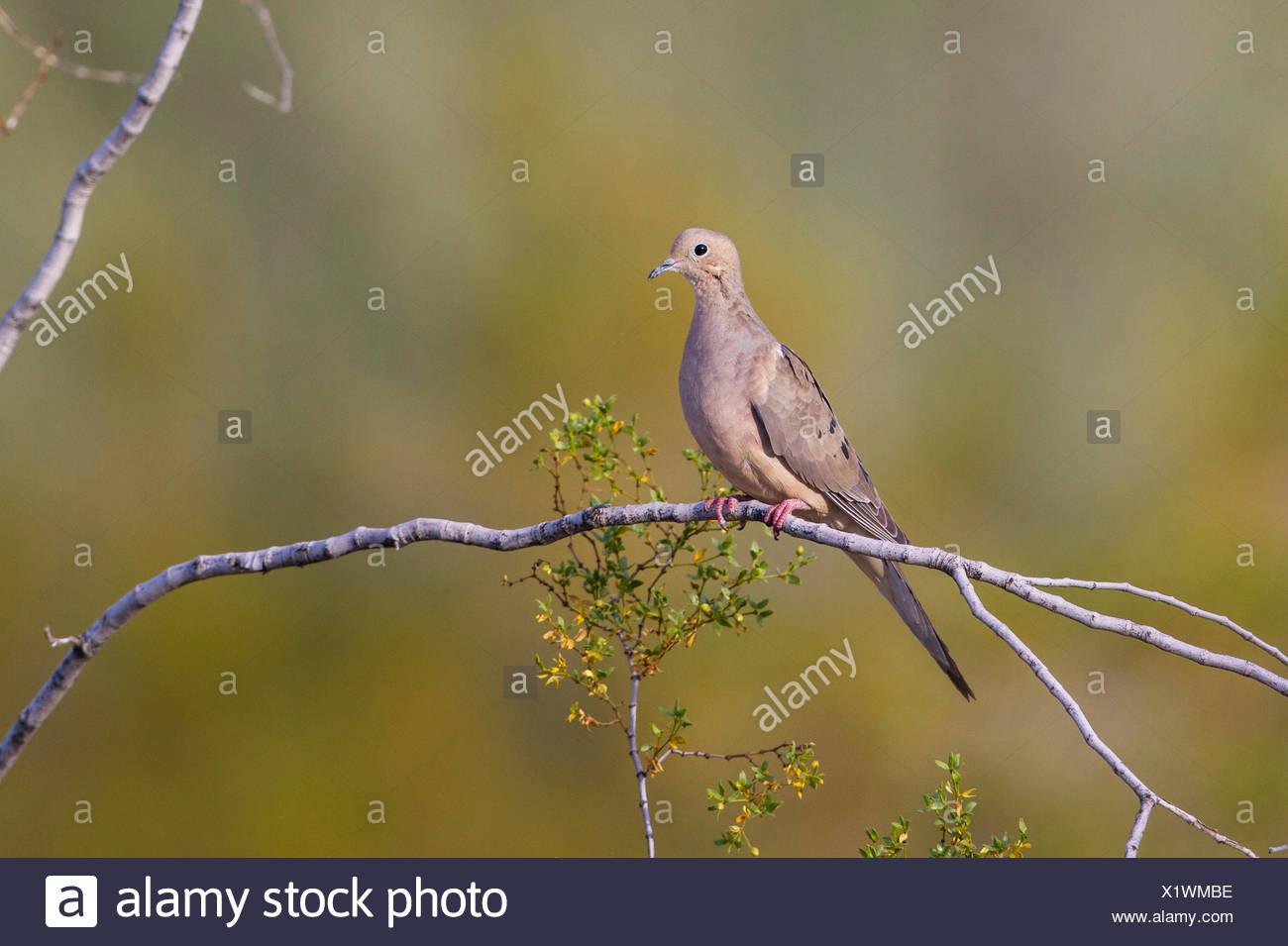 mourning dove (Zenaida macroura), sits on a branch, USA, Arizona - Stock Image