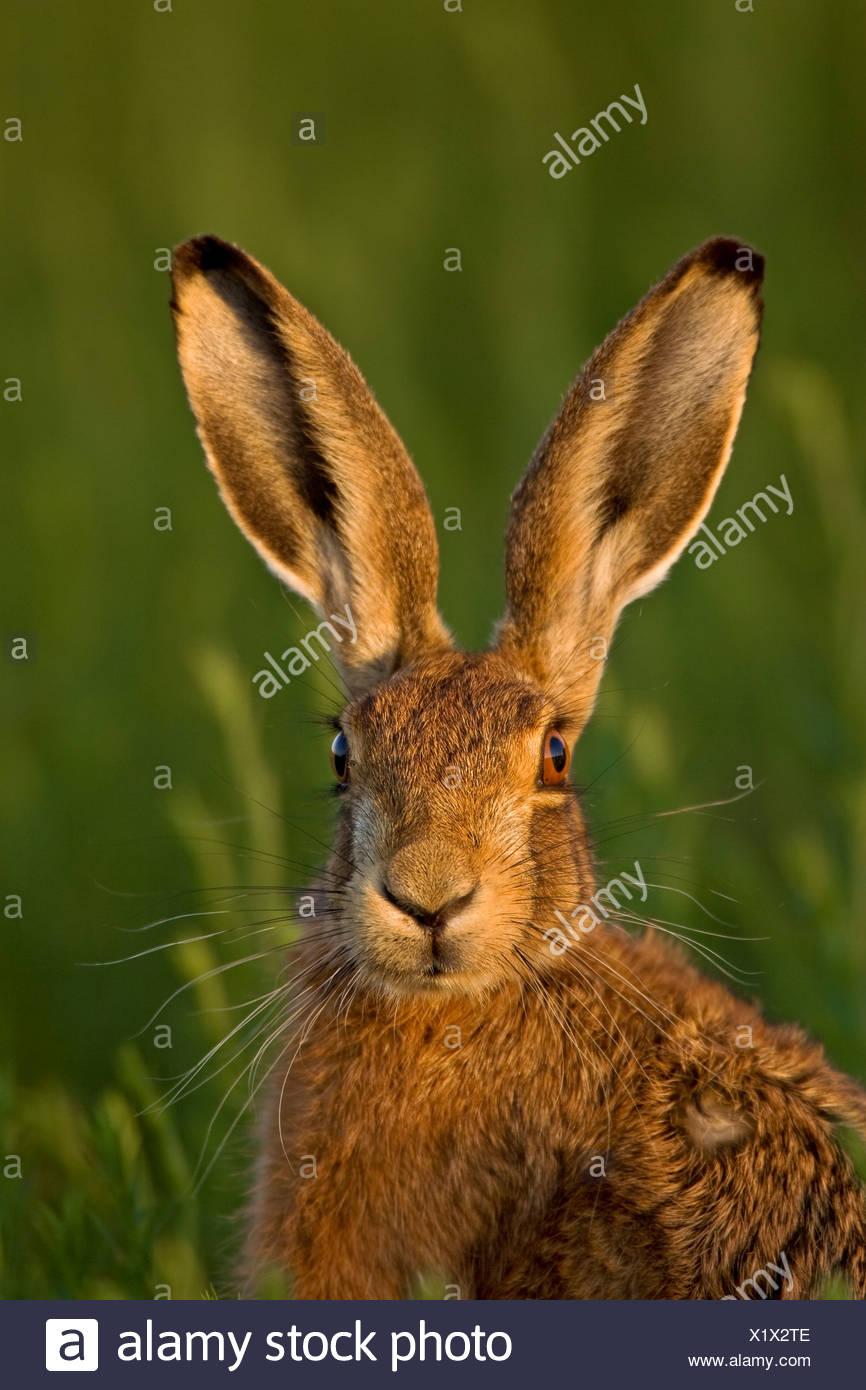 European Brown Hare (Lepus europaeus) in evening light. - Stock Image