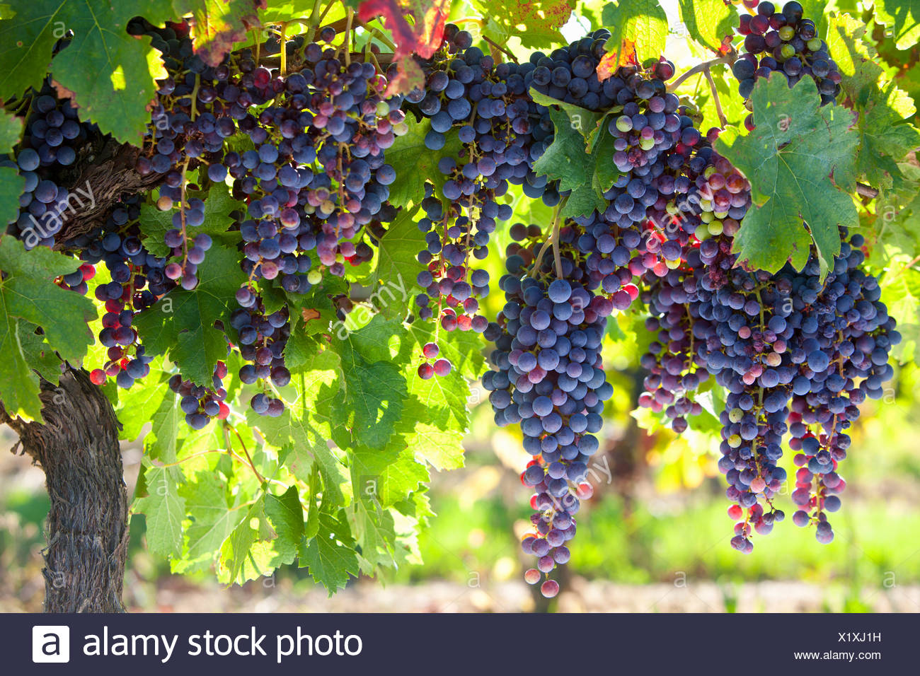 Bunches of purple grapes growing on vines in vineyard - Stock Image