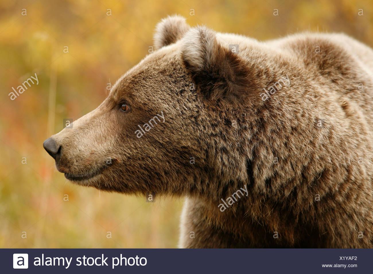 Grizzly Bear, Ursus arctos, fall, feeding, alpine tundra, Denali National Park, Alaska. - Stock Image