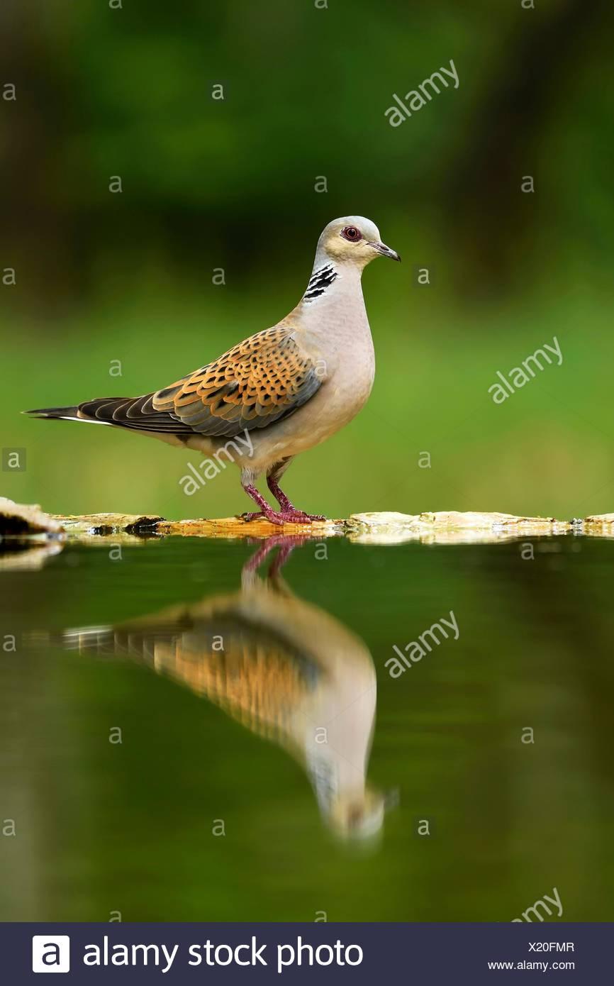 Turtle dove (Streptopelia turtur) at birdbath, Mirroring, National Park Kiskunsag, Hungary - Stock Image