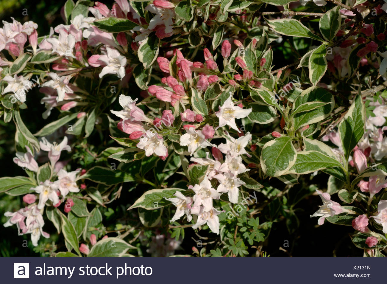 Weigela Florida Variegata Pink White Flowered Shrub With Variegated