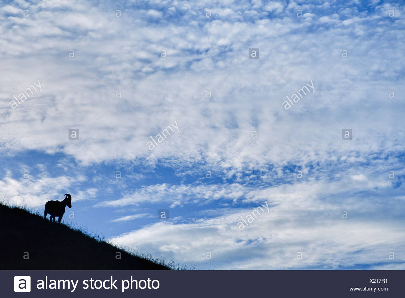 Eravikulum National Park Western Ghats India Nilgiri tahr Nilgiritragus hylocrius Eravikulum - Stock Image