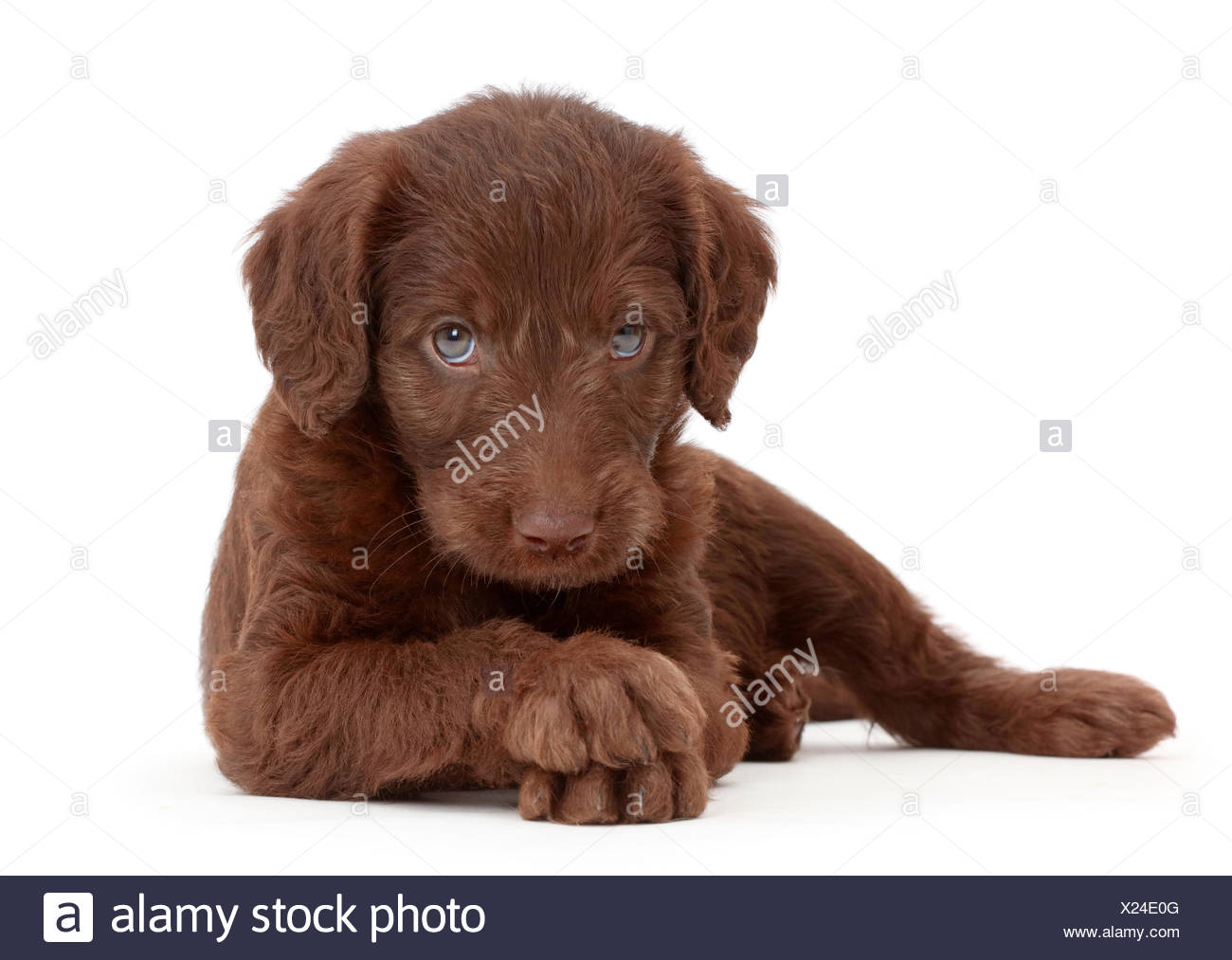 Chocolate Labradoodle Puppy Stock Photo 276694000 Alamy