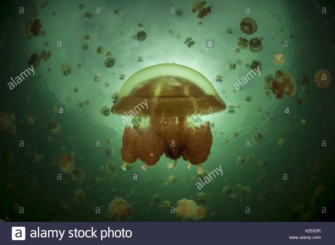 Half and half picture at Jellyfish lake, Palau (Mastigias) - Stock Image