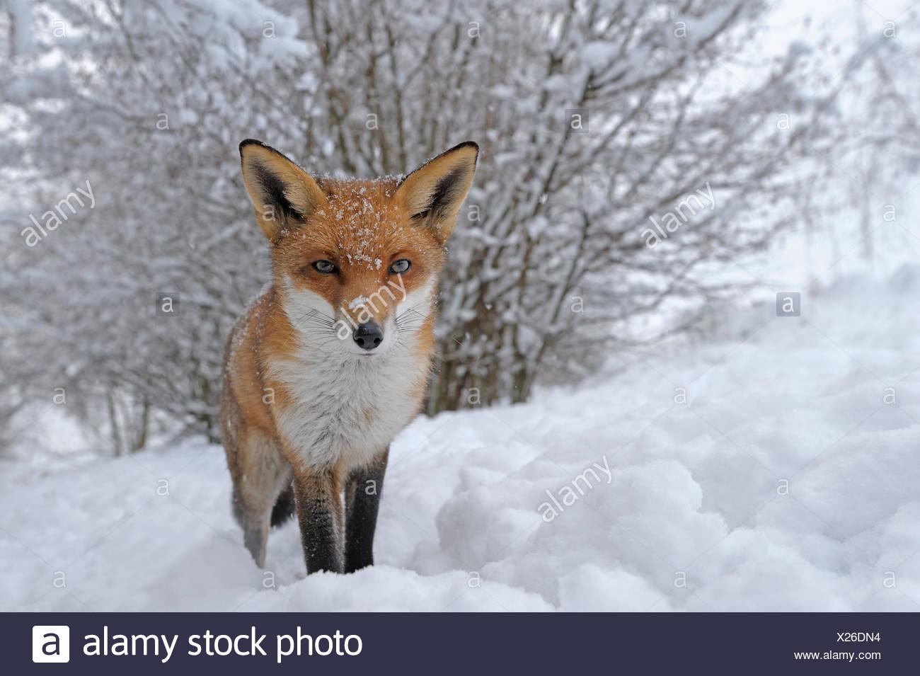 European Red Fox (Vulpes vulpes) in snow, UK, captive - Stock Image